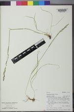 Trisetum wolfii image