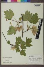 Acer glabrum var. glabrum image