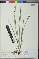 Juncus ensifolius var. ensifolius image