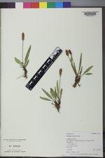 Plantago tweedyi image