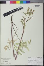 Angelica pinnata image