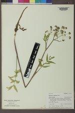 Angelica pinnata image