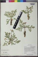 Cymopterus longipes image