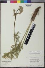 Ligusticum filicinum image