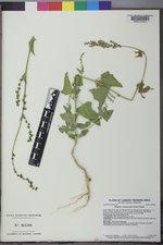 Atriplex dioica image