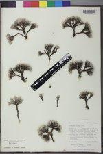Eriogonum acaule image