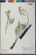 Lomatium multifidum image