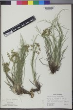 Lomatium nuttallii image