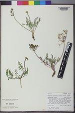 Lomatium juniperinum image