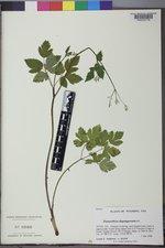 Osmorhiza depauperata image