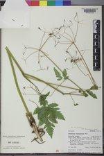 Osmorhiza berteroi image