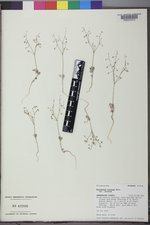 Eriogonum cernuum image