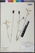 Perideridia gairdneri subsp. borealis image