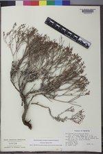 Eriogonum microthecum image