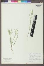 Linum compactum image