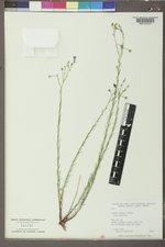 Linum lewisii image