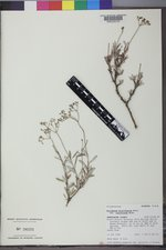 Eriogonum microtheca image