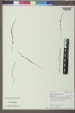 Polygonum sawatchense image
