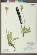 Agoseris parviflora image