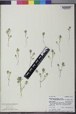 Polygonum polygaloides subsp. confertiflorum image