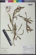 Rumex utahensis image