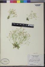 Androsace filiformis image
