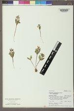 Claytonia lanceolata image