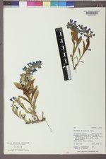 Penstemon arenicola image