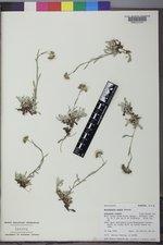Antennaria media image