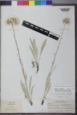 Antennaria pulcherrima image