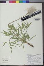 Clematis hirsutissima image