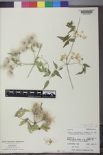 Clematis ligusticifolia image