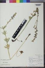Delphinium distichum image