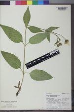 Arnica lanceolata image