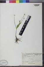Ranunculus alismifolius image