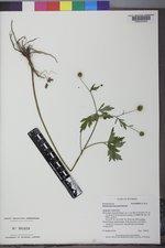 Ranunculus macounii image