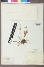Ranunculus glaberrimus image