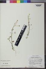 Ranunculus gmelinii image