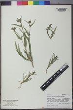 Mentzelia montana image