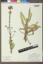 Oenothera coloradensis image