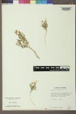 Oenothera coronopifolia image
