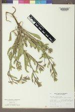Oenothera villosa subsp. strigosa image