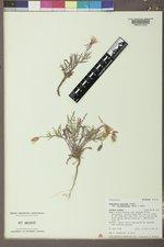 Oenothera pallida image