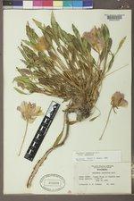 Oenothera cespitosa var. cespitosa image