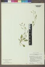 Chylismia scapoidea subsp. scapoidea image