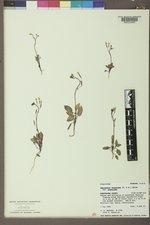 Chylismia scapoidea image