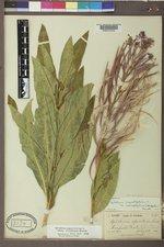 Chamaenerion angustifolium subsp. circumvagum image