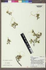 Cercocarpus montanus var. montanus image