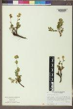 Drymocallis fissa image