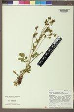 Drymocallis pseudorupestris image